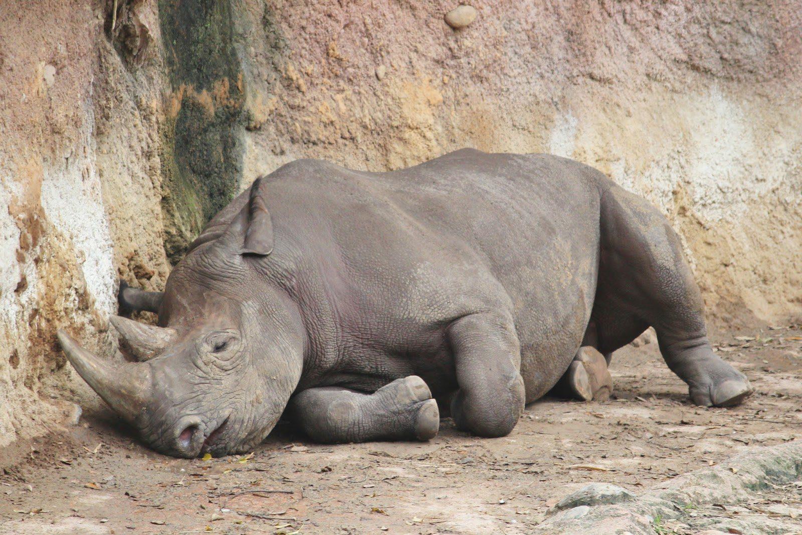 Animal-Kingdom-Rhino