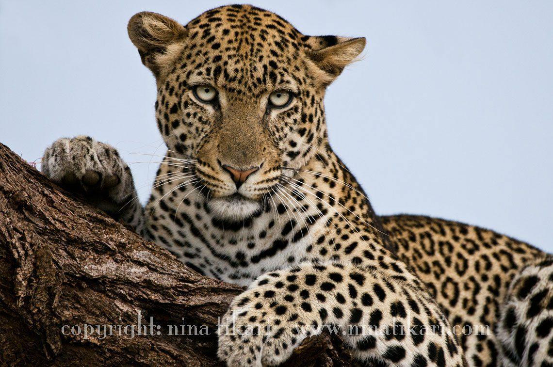 Leopard_in_Tree_1205_1-5