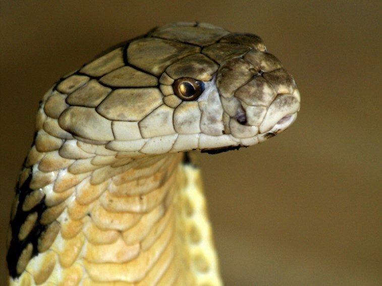 snake 598234_longest-venemous-snake_hkg3otrmu37ot6zjav3bvhgu7uoxpy7q62c4u66siw3t6qwph3oq_757x567