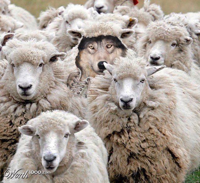 aaa  sheep  5193838_orig