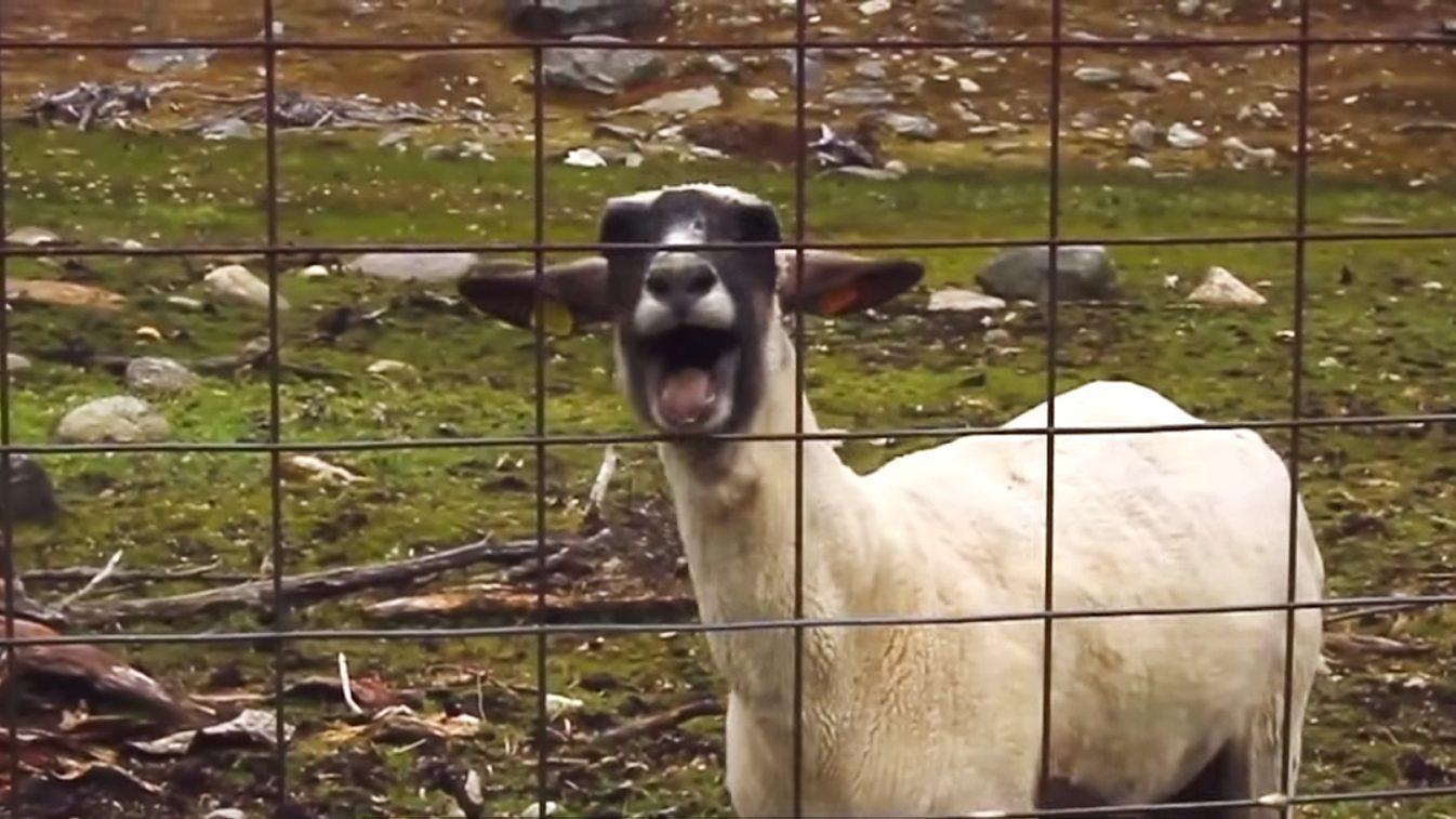 goatsheep
