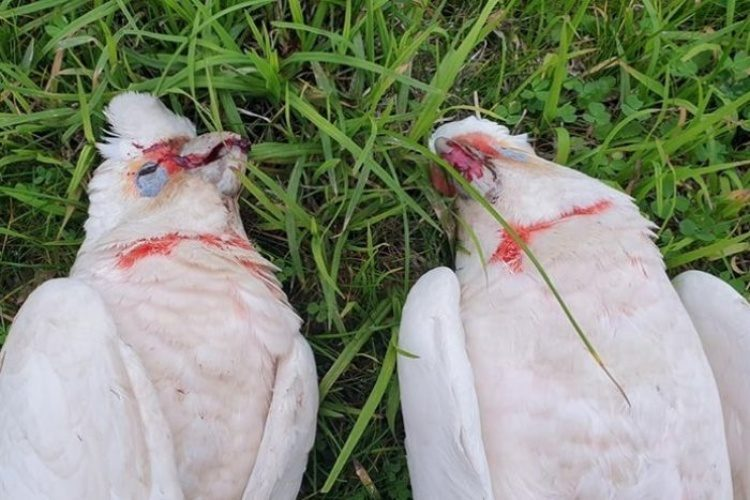 radiation Birds-Falling-From-Sky-Bleeding-Australia